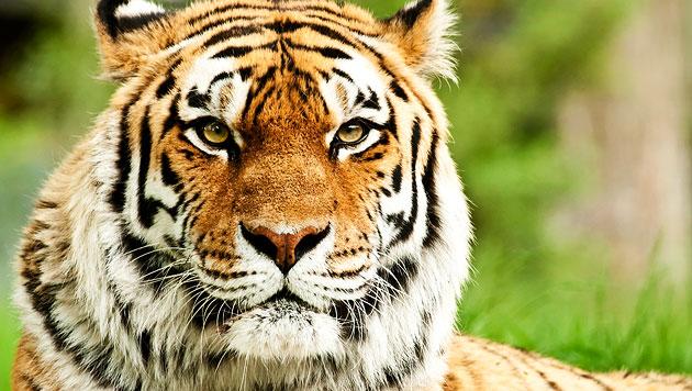 Virus droht Indiens Tigerpopulation auszulöschen (Bild: thinkstockphotos.de)
