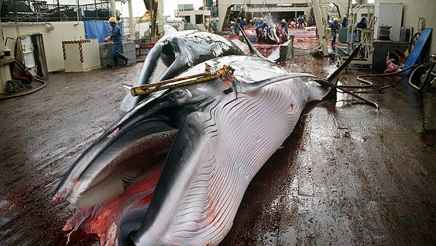 Bericht: Norwegen ist Walfangnation Nummer eins (Bild: dpa/Mark Voiter)