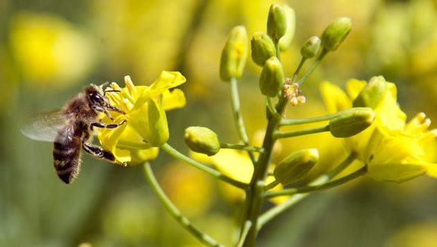 Verein startet Crowdfunding zur Rettung der Biene (Bild: dpa/Christoph Schmidt)