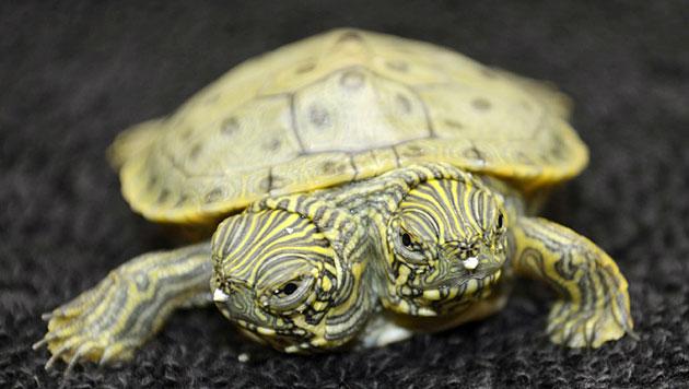 Schildkröte mit zwei Köpfen in US-Zoo geboren (Bild: AP/San Antonio Zoo)