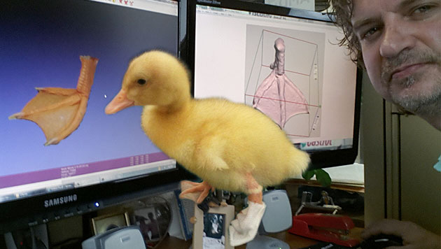 USA: Ente bekommt neuen Fuß aus dem 3D-Drucker (Bild: © Feathered Angels Waterfowl Sanctuary, krone.at-Grafik)