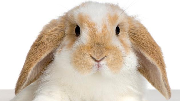 Tipps für den Wohnungsauslauf von Kaninchen (Bild: thinkstockphotos.de)