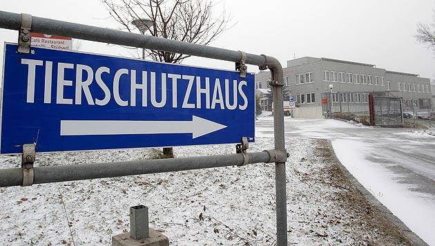 Wiener Tierschutzhaus mit Rekord an Hundevergaben (Bild: APA/Georg Hochmuth)