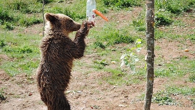 """""""Restaurant-Bären"""" erholen sich von ihren Qualen (Bild: Vier Pfoten)"""