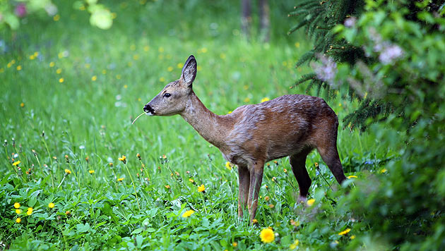 Wilderer ließ im Burgenland totes Reh liegen (Bild: EPA)