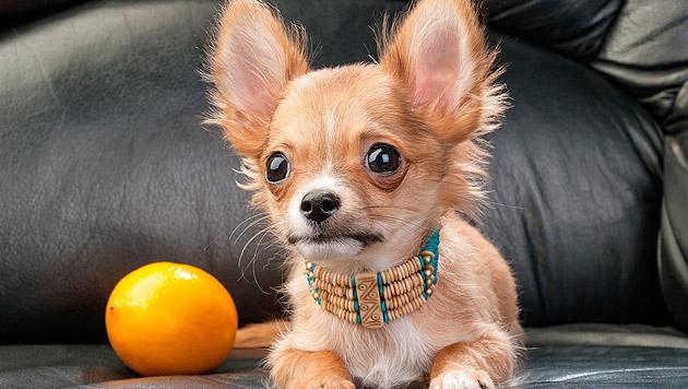 Studie: Chihuahua ist Ur-Amerikaner unter den Hunden (Bild: thinkstockphotos.de)