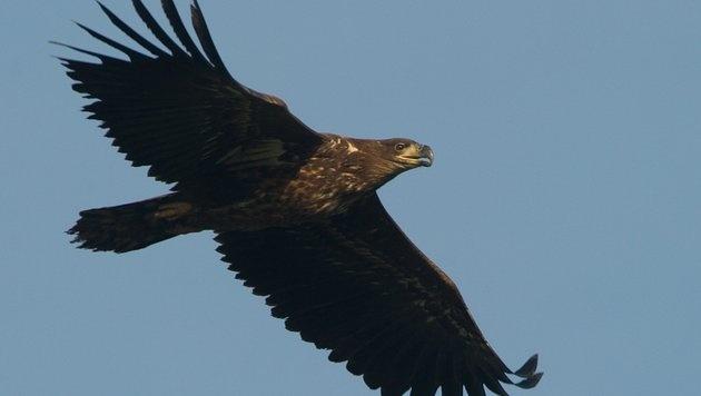 """""""König der Lüfte"""" in Gefahr: Zahlreiche Greifvögel vergiftet (Bild: dpa/Patrick Pleul)"""