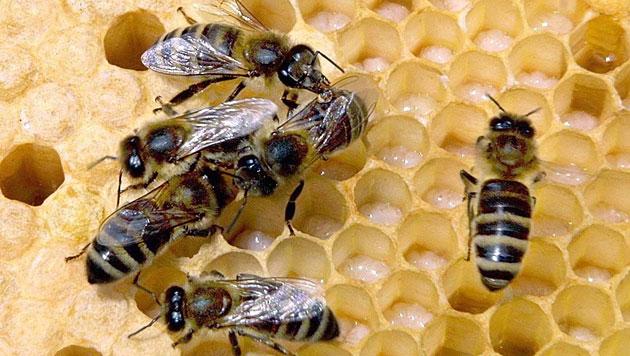 Bienen leben in der Stadt oft besser als am Land (Bild: APA/dpa/Andreas Lander)