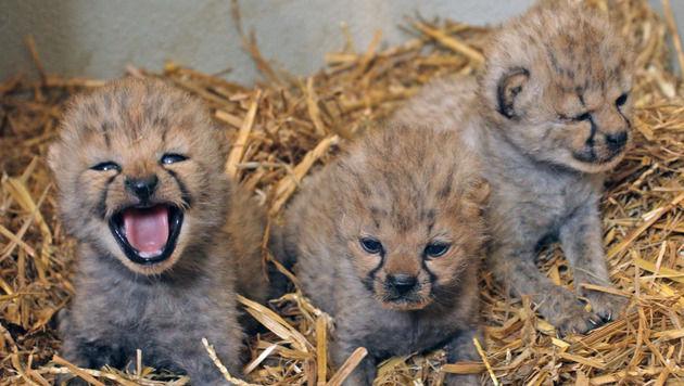 Drei Gepardenbabys locken Besucher in den Zoo Salzburg (Bild: Zoo Salzburg)