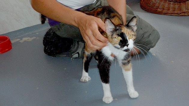 Trächtige Katze in Schachtel gesperrt und ausgesetzt (Bild: Wiener Tierschutzverein)