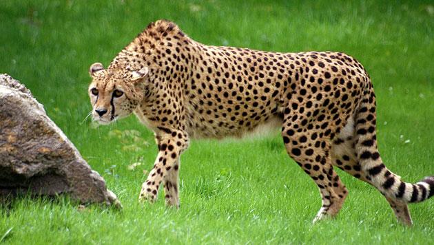 Geparden als Haustiere im Nahen Osten sehr begehrt (Bild: APA/dpa/Sabine Maurer)