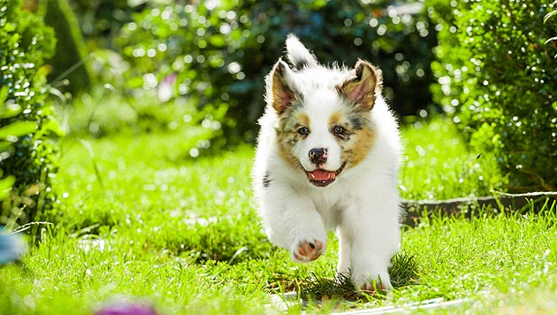 Hund im Kärntner Hausgarten mit Köder vergiftet (Bild: thinkstockphotos.de (Symbolbild))