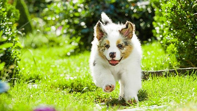 So machen Sie Ihren Garten zum Hundeparadies (Bild: thinkstockphotos.de (Symbolbild))