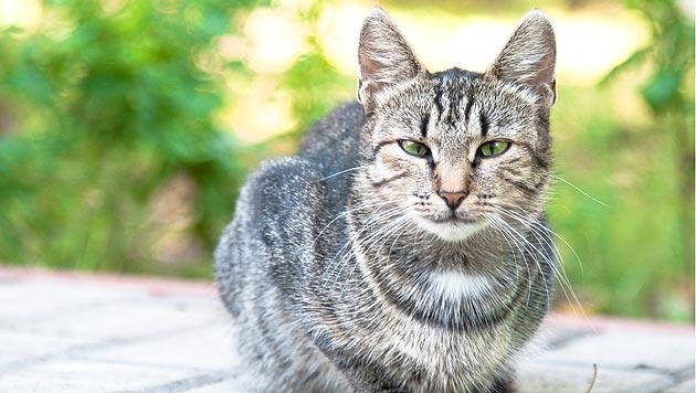Tierquäler schoss Katze im Bezirk Gmunden an (Bild: thinkstockphotos.de)