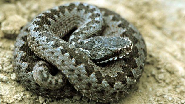 Heimische Schlangenarten sind keine Bedrohung (Bild: APA/DICK KLEES/dpa (Symbolbild))