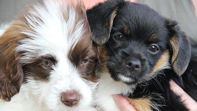 "Hundewelpen wie Müll in Schachtel ""entsorgt"" (Bild: Tierschutzverein Vöcklabruck)"