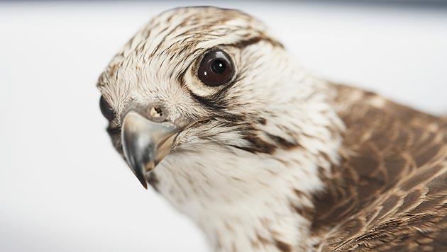 Tierfreundin rettete hilflosen Greifvogel in Niederösterreich (Bild: thinkstockphotos.de (Symbolbild))