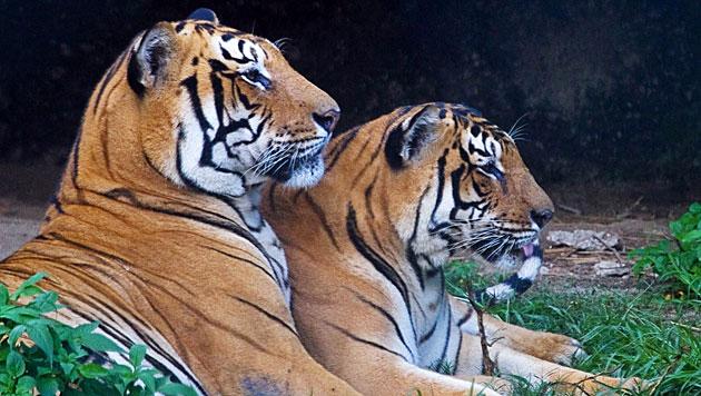 Population der Tiger in Nepal wächst wieder (Bild: EPA)
