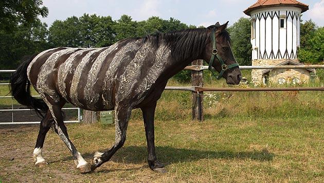 Reiter bemalen Pferde mit Zebramuster (Bild: EPA/Sebastian Kahnert)