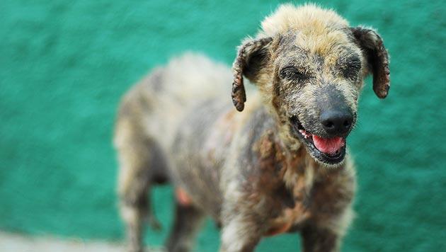 Impfung von Hunden soll Tollwut ausrotten (Bild: thinkstockphotos.de)