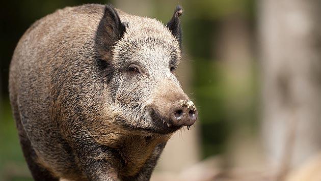 VGT-Kritik an Gatterjagd auf Wildschweine im Bgld (Bild: Florian Kainz)