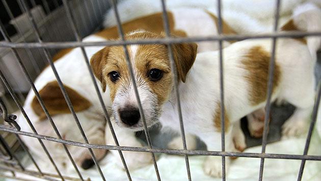 bazar.at verbietet Privatverkauf von Tieren (Bild: thinkstockphotos.de (Symbolbild))