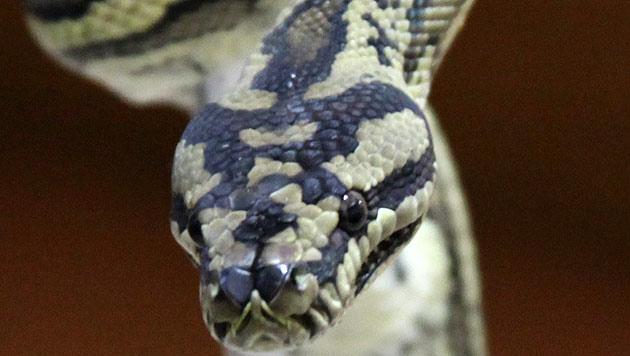 Python statt Hund an der Kette (Bild: EPA)