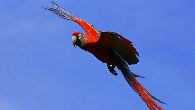Polizei lockte plappernden Papagei vom Baum (Bild: EPA)