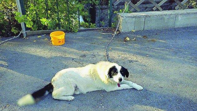 Hunde bei 40 Grad ausgesetzt und an Zaun gekettet (Bild: privat)