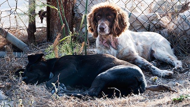 Inder wollen Streuner zu Schutzhunden ausbilden (Bild: thinkstockphotos.de)