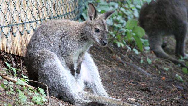 Neues Zuhause für entlaufenes Känguru gefunden (Bild: APA/CHRISTOPH CENKER)
