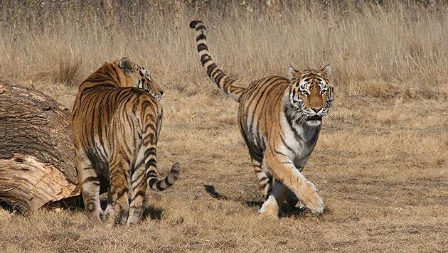Neues Heim für gerettete rumänische Tiger (Bild: Vier Pfoten/Hildegard Pirker)