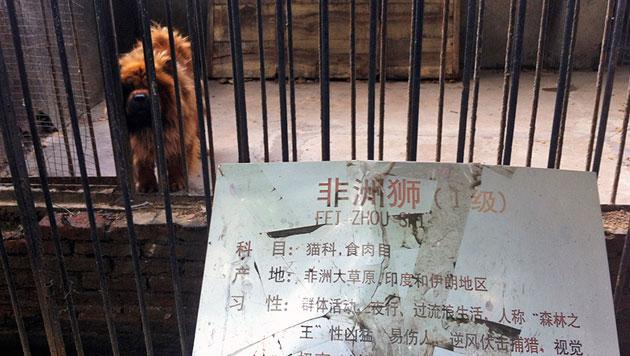 Chinesischer Zoo präsentierte Hund als Löwen (Bild: AP)