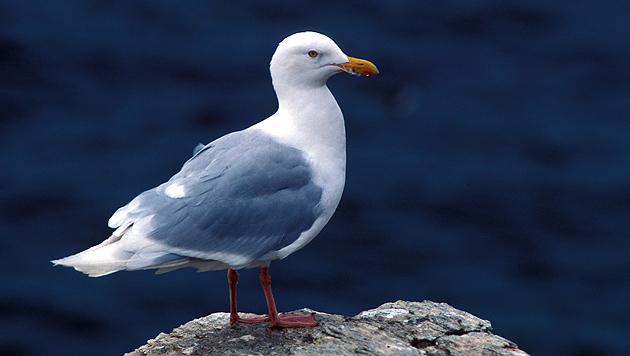 Anglerzubehör kann Vögel tödlich verletzen (Bild: US Fish and Wildlife Service)
