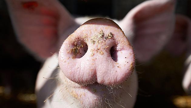 """""""Wer Schwein isst, will billige Ware haben"""" (Bild: dpa/Bernd Thissen (Symbolbild))"""