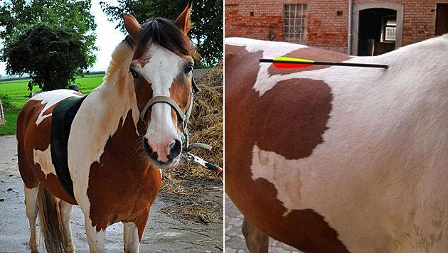 """Tierquäler schießt in OÖ mit Armbrust auf Ponys (Bild: Horst Einöder, """"Krone"""")"""