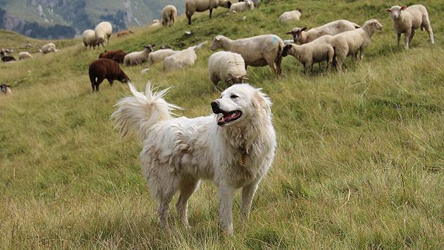 Herdenhunde schützen Schafe vor Bär, Wolf und Co. (Bild: Beratungsstelle Herdenschutz)