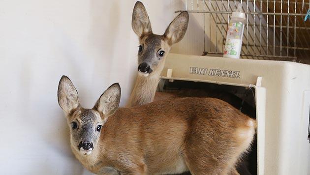 Zwei gerettete Rehböcke suchen ein neues Zuhause (Bild: Uta Rojsek-Wiedergut)
