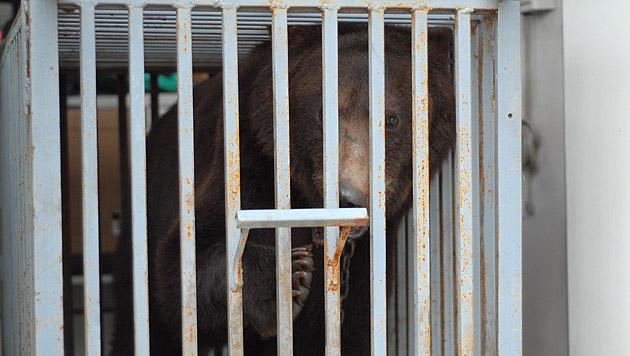 """Kampfbärin """"Masha"""" von Tierschützern gerettet (Bild: VIER PFOTEN)"""