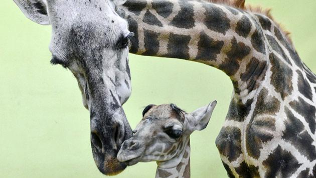 Südkorea: Giraffe brachte ihr 18. Kalb zur Welt (Bild: AP)