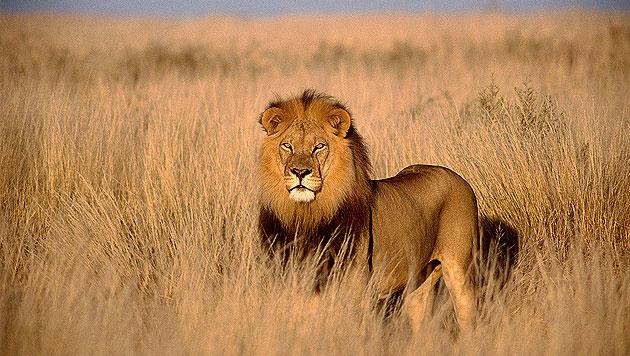 Urlaub in Kenia: Audienz beim König der Savanne (Bild: thinkstockphotos.de)
