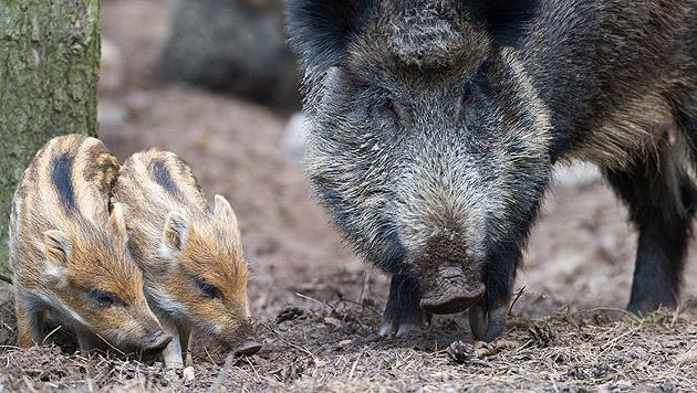 Oberösterreich bläst zur Jagd auf Wildschweine (Bild: dpa-Zentralbild/Patrick Pleul)