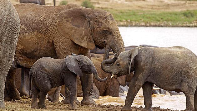 Wilderer töteten 2013 rund 30.000 Elefanten (Bild: AP (Symbolbild))