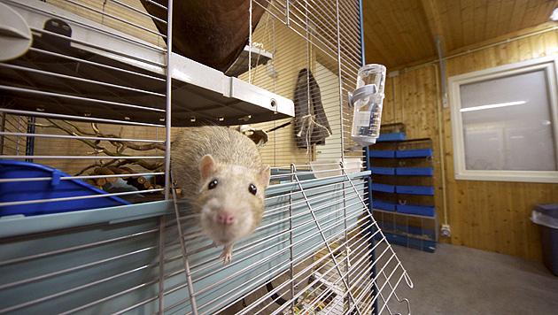 Rotterdam: Polizei setzt Ratten als Spürnasen ein (Bild: AFP)