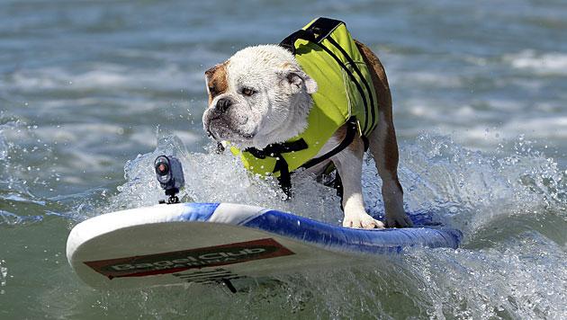Vor Kaliforniens Küste surfen Hunde um die Wette (Bild: EPA)