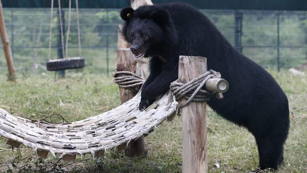 Illegale Bären-Schlachtung in Vietnam nimmt zu (Bild: EPA)
