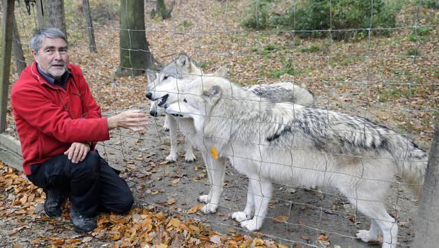 NÖ: Drei Wölfe aus Forschungszentrum ausgebrochen (Bild: Klemens Groh)