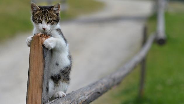 Einsatz für Tierrettung: Katze geriet in Mähwerk (Bild: APA/BARBARA GINDL (Symbolbild))