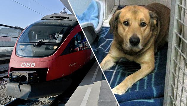 Rätsel um Mix, der mit dem Zug nach München reiste (Bild: APA/HERBERT NEUBAUER, Tierschutzverein München, krone.at-grafik)