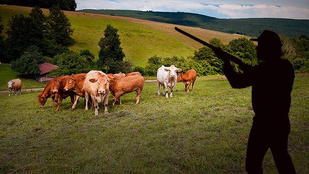 Zwei ausgerissene Kühe von Jägern erschossen (Bild: thinkstockphotos.de (Symbolbild), krone.at-Grafik)